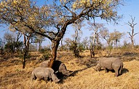 White Rhino (Ceratotherium simum) grazing, Sabi Sabi, South Africa