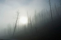 Yellowstone National Park, burned trees with ground fog