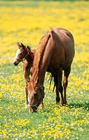 Chestnut mare and foal in buttercups. Hertfordshire. England. UK