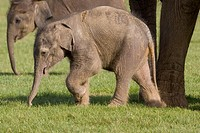 Asian Elephant  Calf ´Elephas maximus´