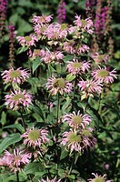 Wild bergamot (Monarda fistulosa). This perennial herb, a member of the mint family (Lamiaceae), is native to North America. It flowers from May to Au...