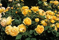 Roses (Rosa ´Golden Celebration´).