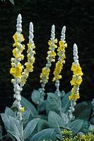 Silver lining (Verbascum bombyciferum) flowers.