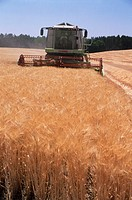 Wheat (Triticum sp.) being harvested by a combine harvester. Photographed in France.