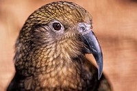 Mountain parrot. The head of a mountain parrot,  or kea (Nestor notabilis). This intelligent bird  is endemic to the Southern Alps of New Zealand´s So...