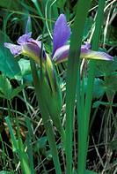 iris graminea flower, alzano lombardo, italy