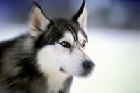 alaskan malamute husky dog, cortina d´ampezzo, italy
