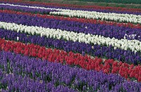 tulips and hyacinths flowers, lisse, holland