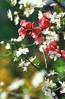 chaenomeles japonica and plum flowers, alzano lombardo, italy