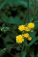 crepis biennis flowers, alzano lombardo, italy