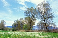 meadow and poplar trees, provaglio d´iseo, italy