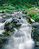 Lewis Monkeyflower (Mimulus lewisii) along Paradise River. Mount Rainier National Park. Pierce County. Washington, USA