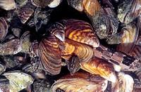 Zebra mussels (Dreissena polymorpha), Lake Simcoe, Ontario.