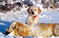 Golden retriever female and puppy playing in the snow.