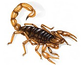 The giant desert hairy scorpion is a poisonous nocturnal arachnid common in the Southwestern U.S. deserts. It uses its stinger to kill spiders and lar...