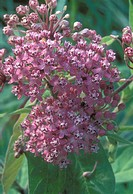 Swamp Milkweed (Asclepias incarnata), Ward Pound Ridge Reservation, NY.