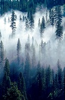 Fog shrouded pine forest near Cascade, Idaho. Fog is considered a low stratus cloud.