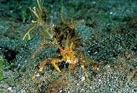 Decorator Crab, St. Vincent, Caribbean. The decorator crab inhabits sea grass beds, attaching algae to its shell as camouflage.