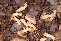 The termite (Reticulitermes flavipes) is a common pest to homes, wooden boards and lots. Any damp wood in contact with the ground can attract these so...