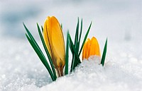 Crocus in snow.