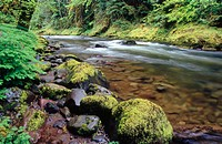 The Salmon River flows through an old growth forest. Mount Hood National Forest, Cascade Mountain Range. Oregon. USA