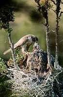 Gyrfalcon black phase (Falco rusticolus) in nest. Northwest territories. Canada.