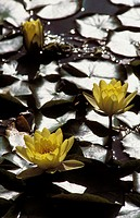 Close-up of water lilies in the moonlight