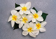 Group of white plumeria flowers on gray background with water drops, studio shot
