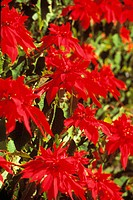 Hawaii, Maui, Bright red poinsettia blossoms. Close-up.