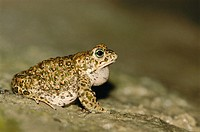 Natterjack toad, male at spawning site (Bufo calamita). Lower Saxony. Germany.