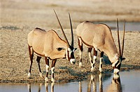 Southern oryx at the waterhole (Oryx gazella). Etosha National Park. Namibia.