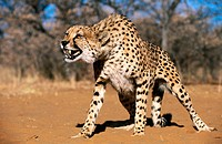 Cheetah (Acinonyx jubatus) in captivity. Game Farm. Namibia.