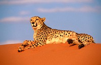 Cheetah in Namib desert (Acinonyx jubatus) in captivity. Game Farm. Namibia