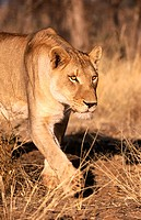 Lioness (Panthera leo) in captivity. Game Farm. Namibia