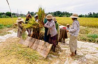 Ricefields. Bali island. Indonesia