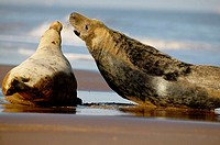 Two grey seals on a beach, North Sea. UK