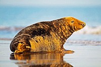 Male grey seal on a beach, North Sea, UK