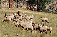 Group of Bighorn sheep (Ovis canadensis) on a hillside. Montana, USA