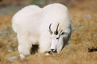 Mountain Goat (Oreamnos americanus) in Logan Pass, Glacier National Park. Montana. USA
