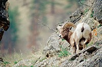 Bighorn sheep (Ovis canadensis). Montana, USA