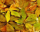 Autumn chessnut leafs