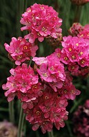Sea thrift flowers (Armeria maritima).