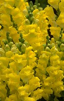 Snapdragon. (Antirrhinum majus -Tahiti series) A mass of yellow flowers.