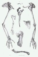 Arm bones. Historical anatomical artwork of the bones of the human arm. At left and right, a left- hand arm, hand, and shoulder joint, are seen from t...