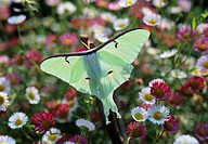Luna moth (Actias luna) This large moth, native to eastern North America, has a wingspan of up to 15 centimetres. The adult luna moth does not eat, ex...