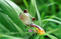 Red-eyed tree frog (Agalychnis callidryas) climbing through foliage. This frog is found in the tropical rainforests of central America. As its name im...