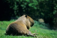 Capybara (Hydrochaeris hydrochaeris) resting on grass. The capybara is the largest rodent in the world. It inhabits vegetation around water in South A...