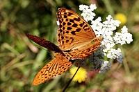 Butterflies, (Argynnis) - copulation