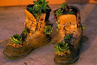 Old pair of work boots with plants in them