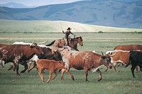 Longhorn cattle, Fairplay, Colorado